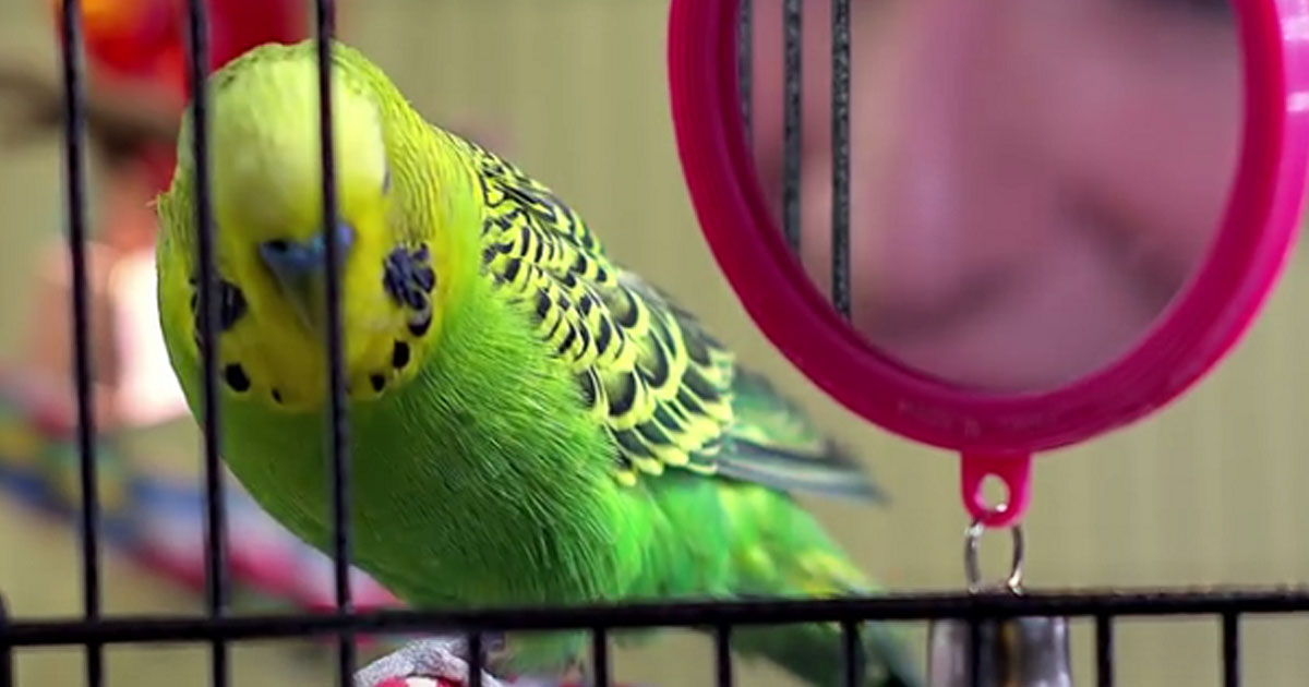 Meet Budgie The Talking Bird With A Huge Vocabulary
