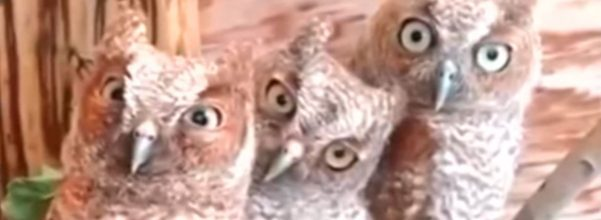 pet owls