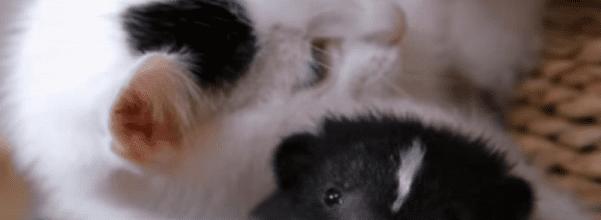 kitten and skunk