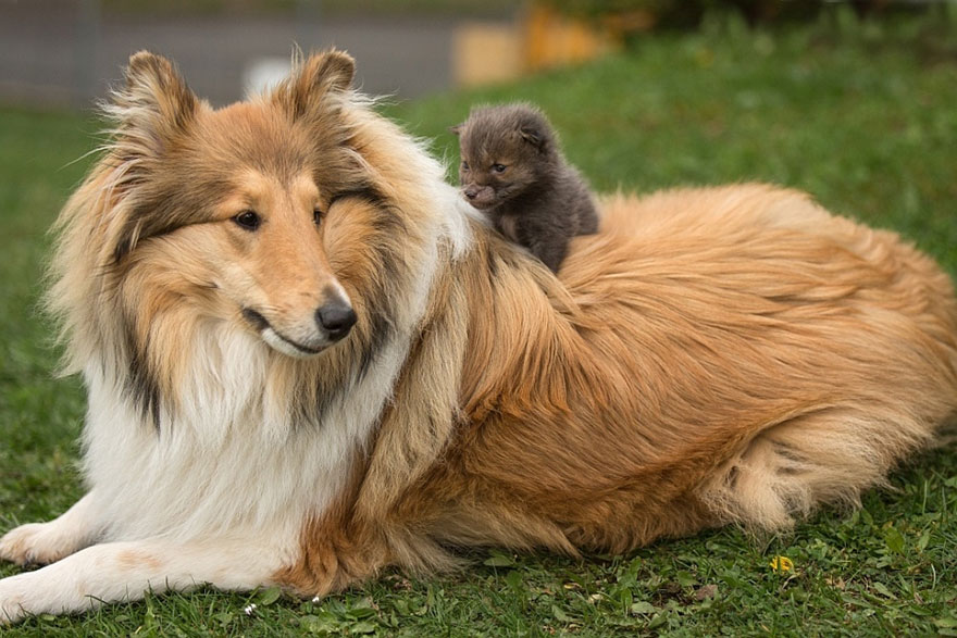 This Baby Fox's Mom Died In A Car Accident  See How A Collie
