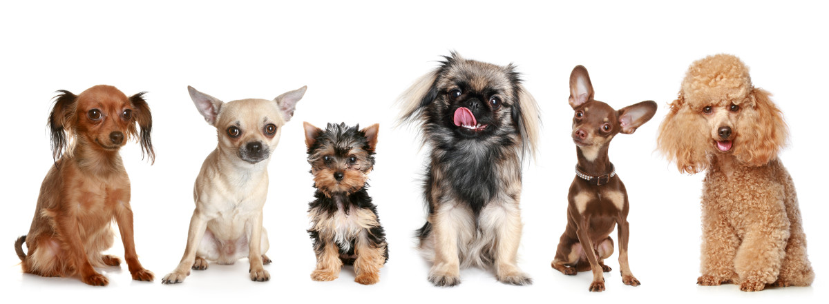 Smallest Toy Dog Breeds : Common dog breeds and their health issues do you own