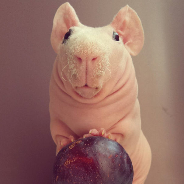 naked guinea pig
