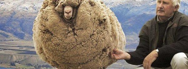 rebel sheep