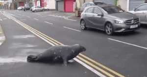 seal crosses road