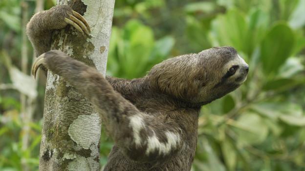 Brown-throated Three-toed Sloth (Bradypus variegatus), Amacayacu National Park, Colombia