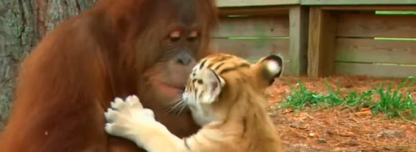 Orangutan looks after tiger