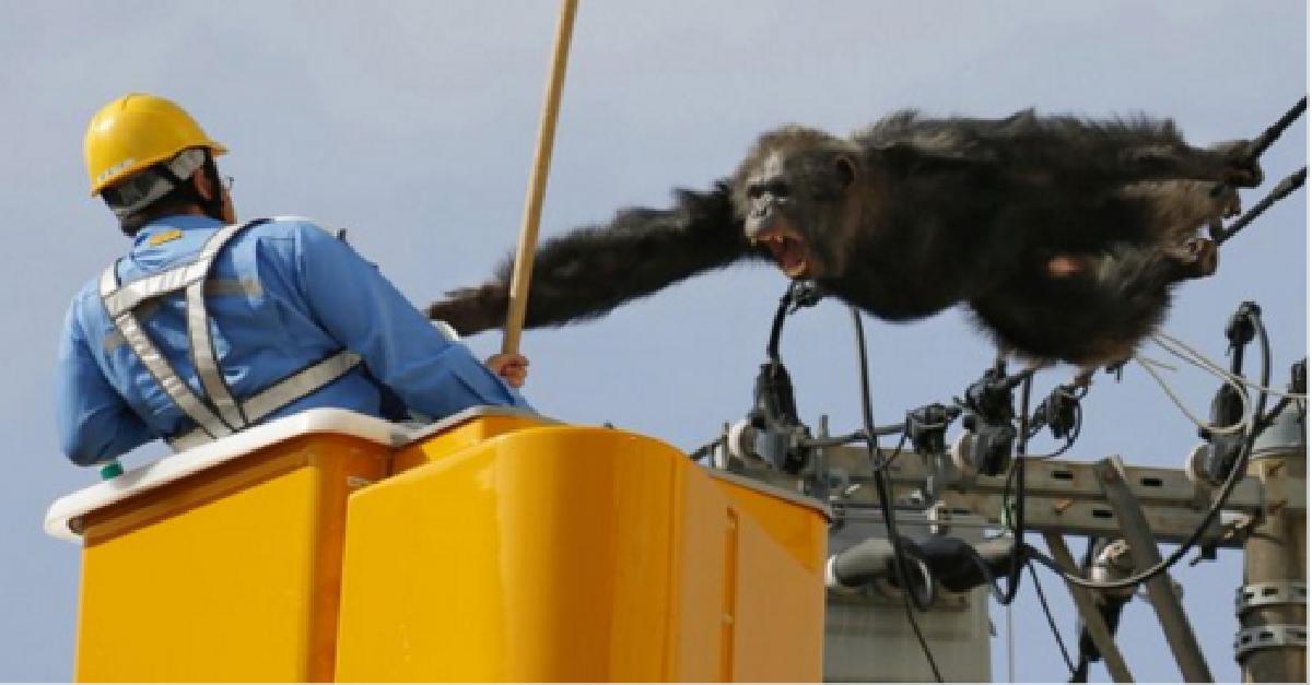 chimp zoo