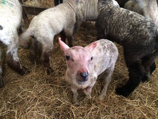 lamb coat