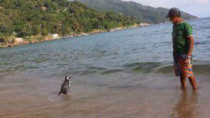 penguin visits man who saved it