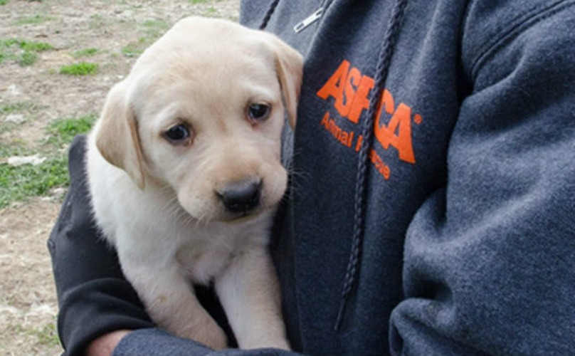 48 Yellow Labradors Are Now Safe, Following An ASPCA Puppy Mill Raid