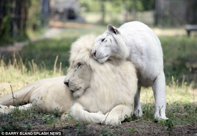 worlds first white ligers