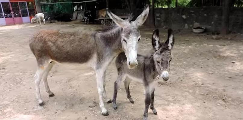 mother donkey