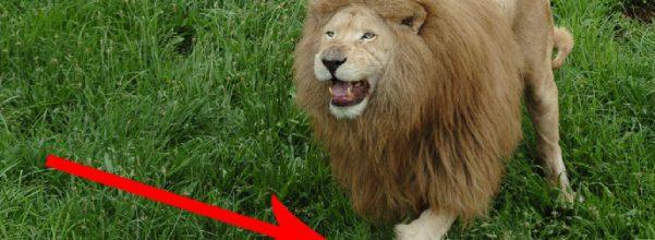 triton the lion