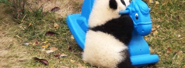 baby panda playing