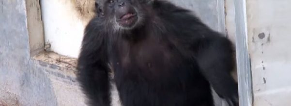 chimp new life