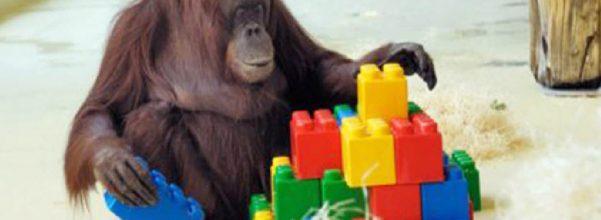 orangutan plays lego