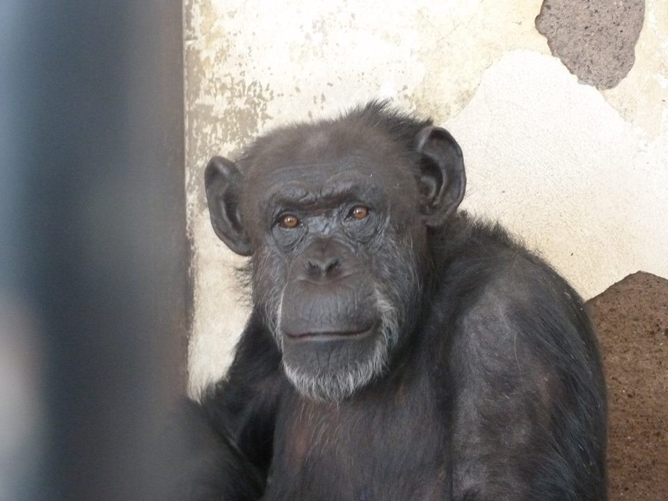 chimp-free