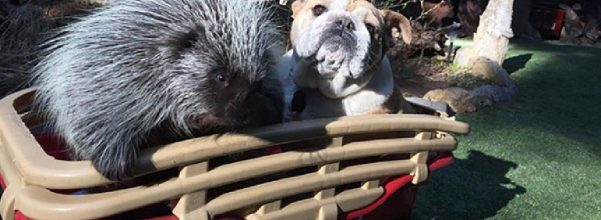 porcupine and dog