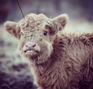 02-highland-calf-cute-1024x983
