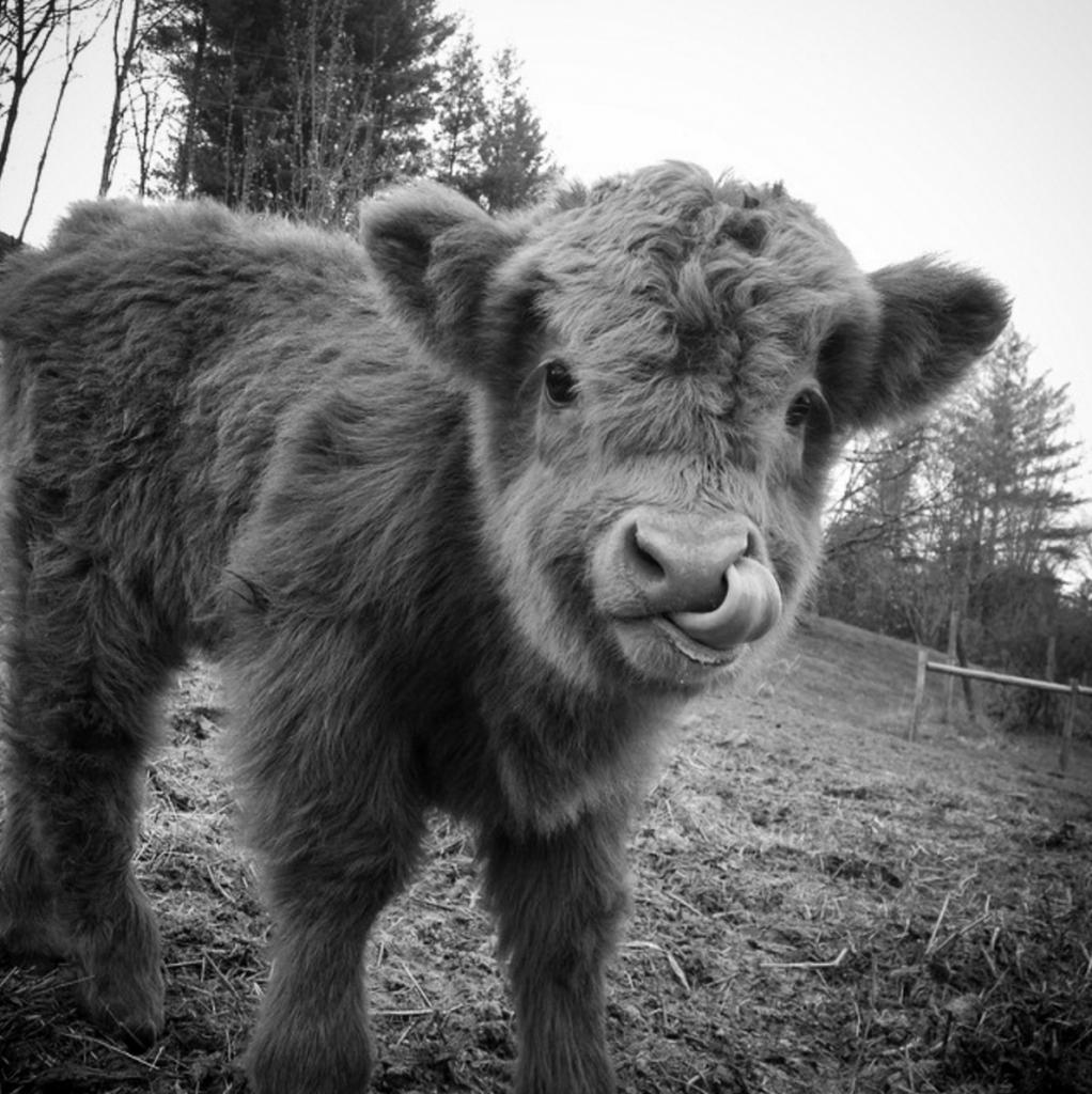 11-highland-calf-cute