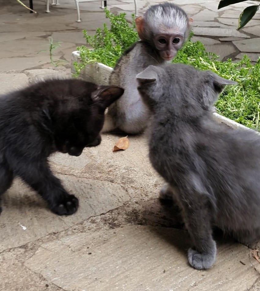 persian cat playing