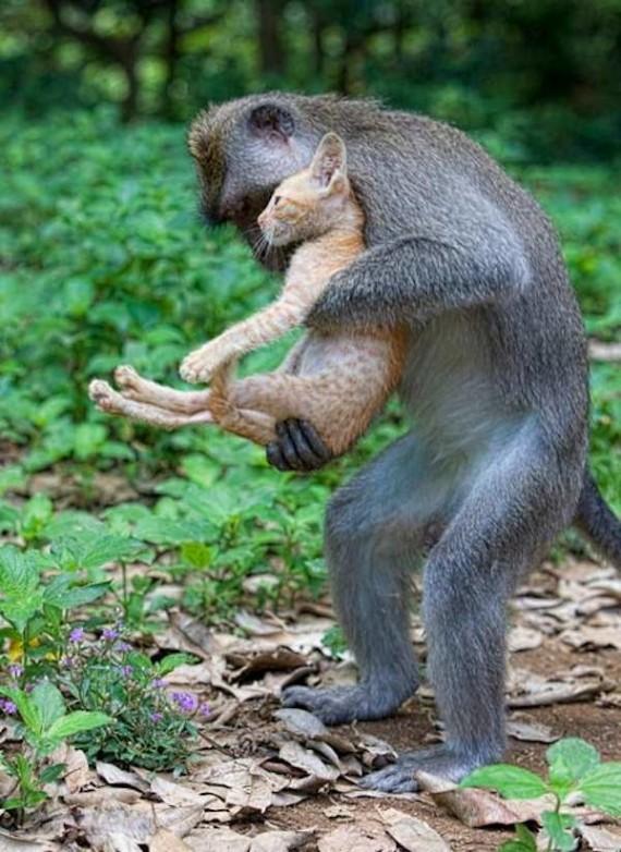 Monkey looks after kitten