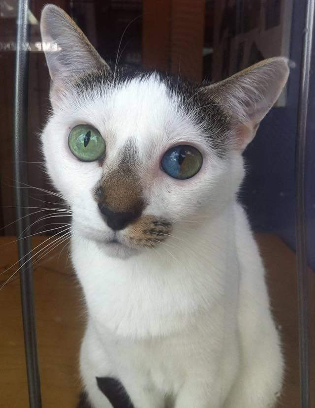 Cat Has Rare Condition That Creates The Most Beautiful Eyes - This cat has the most amazing multi coloured eyes ever