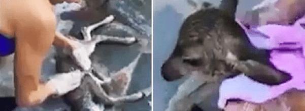 rescued drowned deer