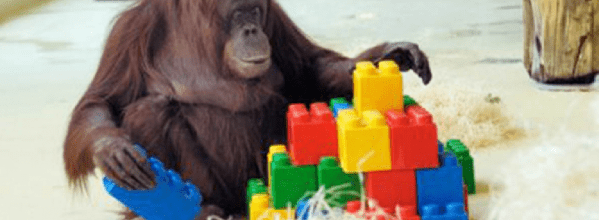 Orangutan plays with lego
