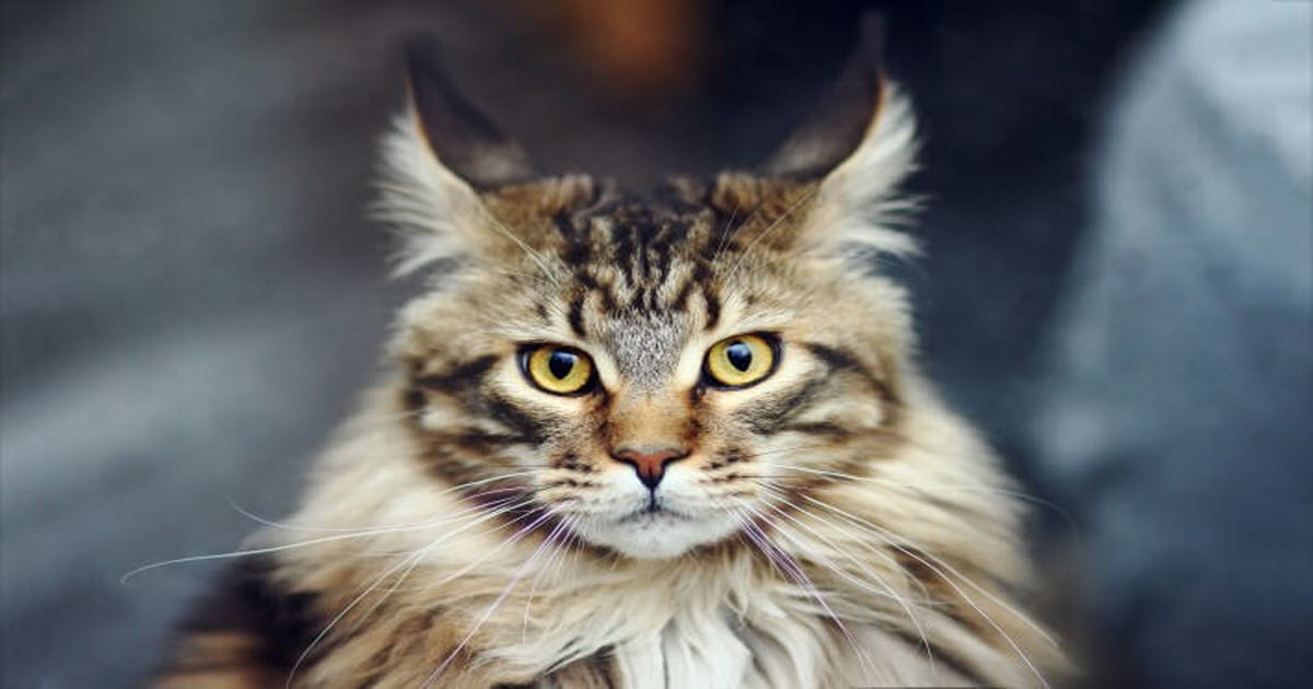 Argus Filch Cat Breed