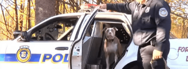 Pit bull joins police department