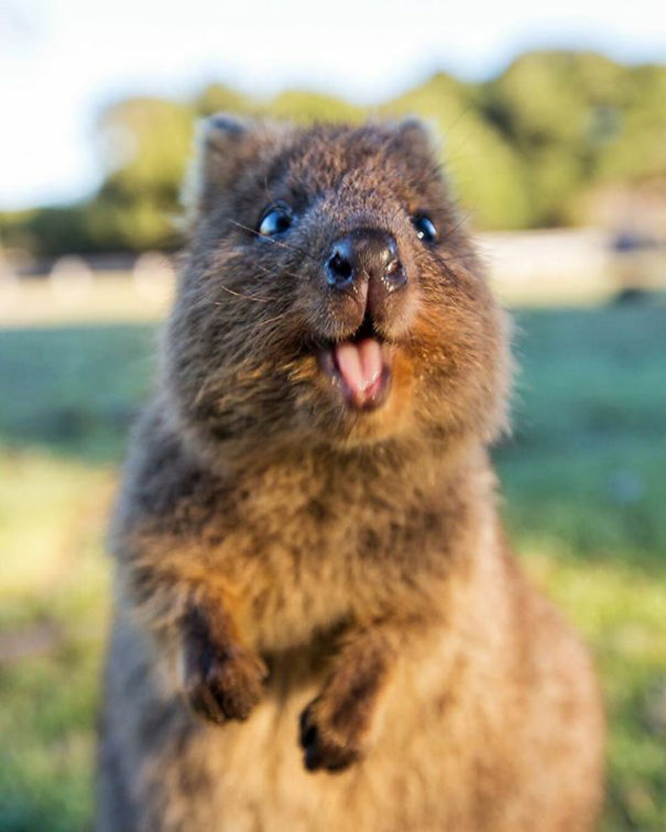 Taking Selfies With The Happy Quokka Has Been Banned In ...
