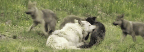 Yellowstone Park wolves