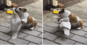 bulldog and duck wrestling
