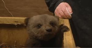 bear cub abandoned
