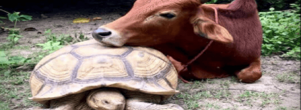 Baby cow and tortoise