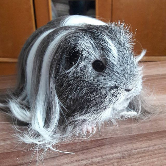 About: Beautiful Guinea Pigs With The Most Incredible Hair Styles
