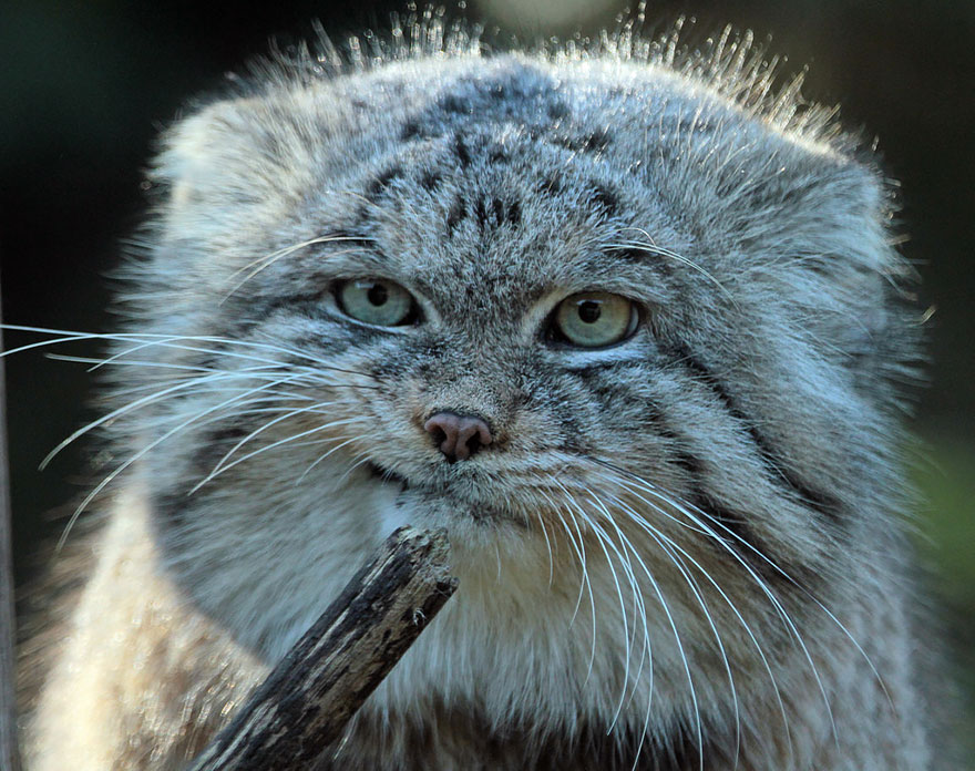 Pallas cats are considered the most expressive cat in the world publicscrutiny Images