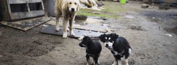 Dogs rescued from meat farm