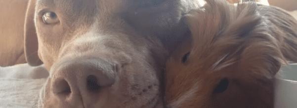 Pit bull loves guinea pig