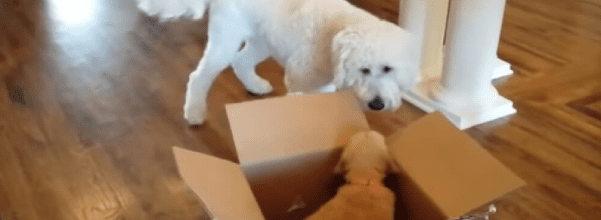 Dog gets puppy for his Birthday
