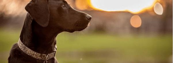 Black Labrador saved owner's life