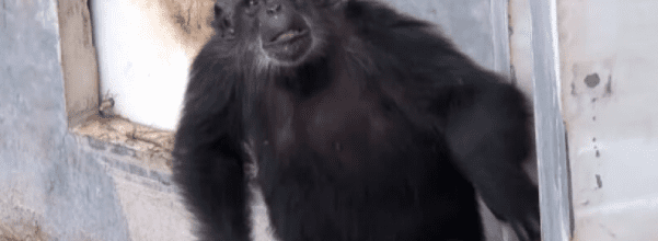 chimpanzees rescued from lab