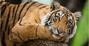 tiger rescued from captivity