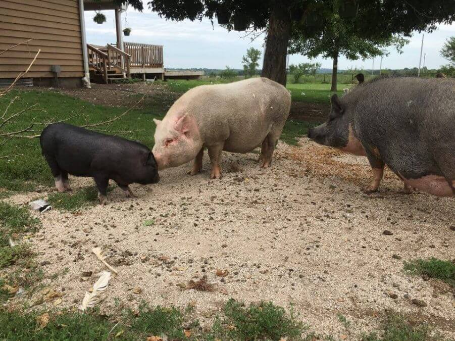 Piglet story