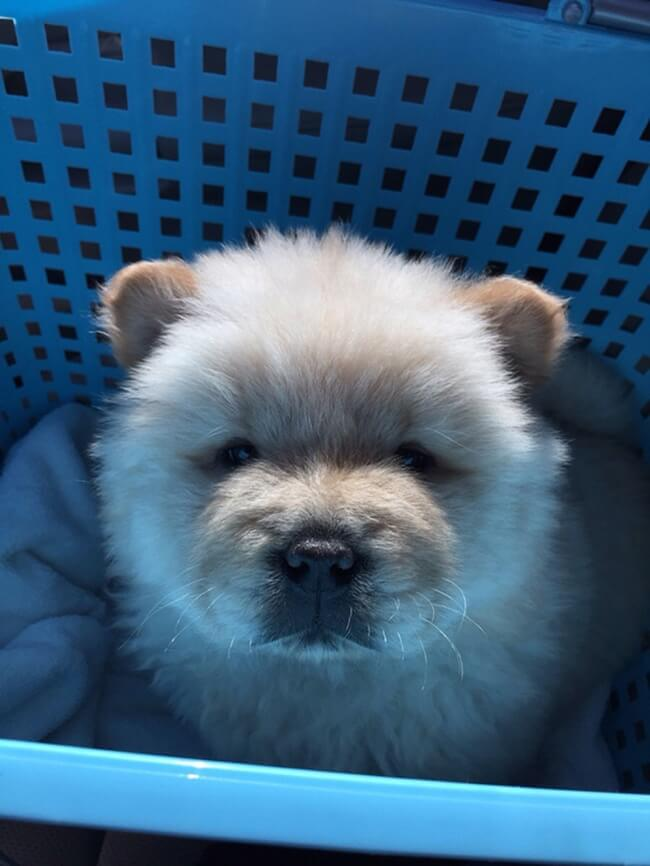 Amazing Baby Blue Eye Chubby Adorable Dog - cuted9  Image_445869  .jpg