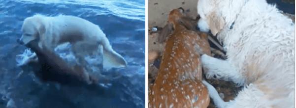 Dog saves drowning deer