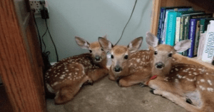 fawns sneak into house