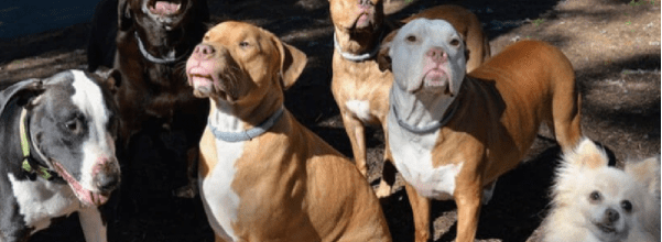 Rescuer used to fear pit bulls