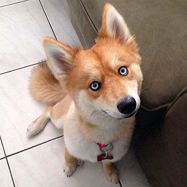 fox dog